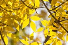 在树的美丽的叶子在秋天 图库摄影