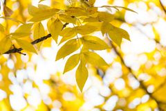 在树的美丽的叶子在秋天 库存图片