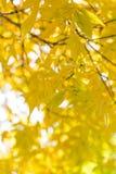在树的美丽的叶子在秋天 免版税图库摄影