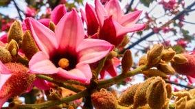 在树的美丽的大桃红色花 库存图片