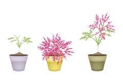 在树的美丽的桃红色花在赤土陶器罐 免版税图库摄影