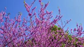 在树的美丽的桃红色花 库存照片