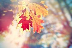 在树的美丽的橡木叶子在森林里 库存照片