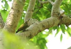 在树的美丽的白发啄木鸟 免版税库存图片