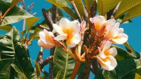 在树的美丽的白色热带花 花的芽在一棵树增长在热的泰国 股票视频
