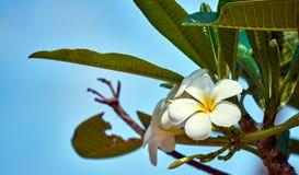 在树的美丽的白花 免版税库存图片