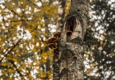 在树的美丽的秋天蘑菇 库存照片