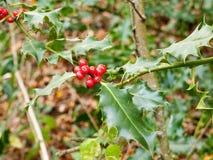在树的美丽的红色生长霍莉莓果与尖刻的叶子 免版税图库摄影