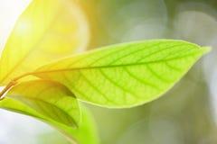 在树的美丽的绿色叶子有阳光软的焦点和迷离树背景/关闭叶子 免版税库存图片