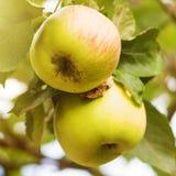 在树的美味苹果 免版税库存照片