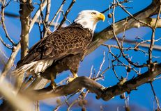 在树的美国白头鹰身分 免版税库存照片