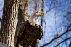 在树的美国白头鹰 图库摄影