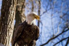 在树的美国白头鹰 库存图片