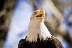 在树的美国白头鹰 免版税库存照片