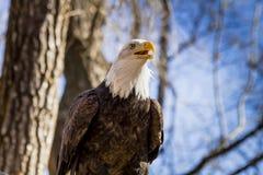 在树的美国白头鹰 免版税图库摄影