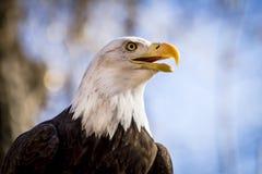 在树的美国白头鹰 库存照片