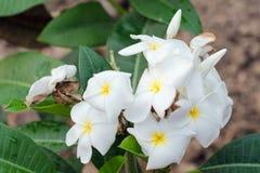 在树的羽毛花(其他名字是赤素馨花, Apocynacea 免版税图库摄影