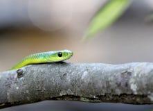 在树的翠青蛇 免版税库存照片