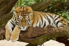 在树的老虎 免版税库存图片