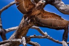 在树的老鹰在Chobe NP -博茨瓦纳 免版税库存照片