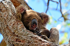 在树的考拉睡眠 图库摄影