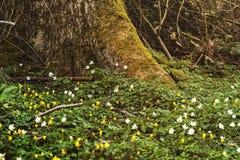 在树的脚的黄色和白色狂放的银莲花属地毯 库存图片