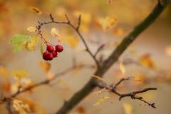 在树的臀部在秋天 库存照片