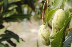 在树的芒果吊 免版税库存照片