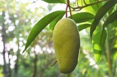 在树的芒果果子在庭院里 库存照片