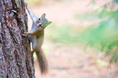 在树的花栗鼠 免版税库存图片