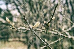 在树的芽在春天 免版税库存图片