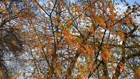 ?? 在树的芽 反对天空蔚蓝的春天树 免版税库存图片