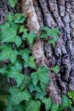 在树的英国常春藤 库存照片
