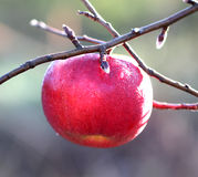 在树的苹果在11月早晨 库存照片