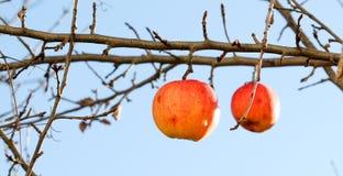 在树的苹果在11月早晨 免版税图库摄影