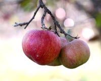 在树的苹果在11月早晨 免版税库存照片
