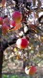 在树的苹果在11月早晨 免版税库存图片
