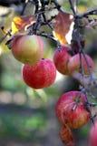 在树的苹果在11月早晨 图库摄影