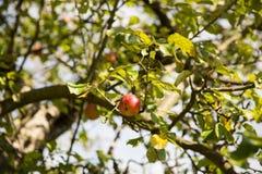 在树的苹果计算机 免版税库存照片