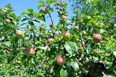 在树的苹果 库存照片
