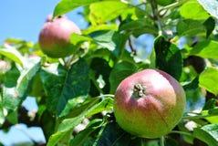 在树的苹果 免版税图库摄影