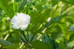 在树的茉莉花花 图库摄影
