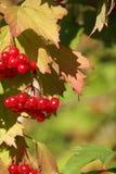 在树的荚莲属的植物莓果 免版税图库摄影
