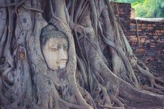 在树的菩萨头根源,阿尤特拉利夫雷斯,泰国 免版税库存照片