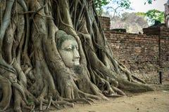 在树的菩萨头在阿尤特拉利夫雷斯,泰国 免版税库存照片