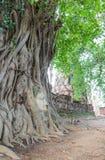 在树的菩萨头,在阿尤特拉利夫雷斯 库存图片