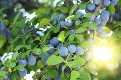 在树的蓝色醇厚的李子在庭院里在晴朗的夏日 库存图片