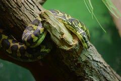 在树的蛇 库存照片