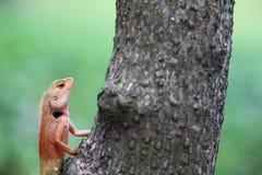 在树的蜥蜴攀登 免版税库存图片