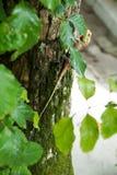 在树的蜥蜴,马尔代夫海岛, Ari环礁 图库摄影